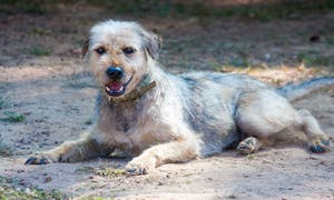 WVS Care for Dogs