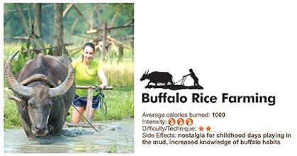 Buffalo Rice Farming